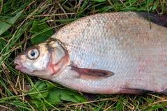 Varios pescados comunes de la brema en hierba verde Pescados de agua dulce de cogida en fondo natural fotos de archivo libres de regalías