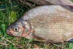 Varios pescados comunes de la brema en hierba verde Pescados de agua dulce de cogida en fondo natural imagen de archivo