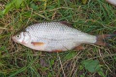 Varios pescados comunes de la cucaracha en hierba verde Pescados de agua dulce de cogida en fondo natural fotos de archivo