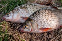 Varios pescados comunes de la cucaracha en hierba verde Pescados de agua dulce de cogida en fondo natural fotografía de archivo