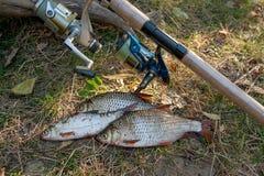 Varios pescados comunes de la cucaracha en hierba verde Pescados de agua dulce y cañas de pescar de cogida con los carretes en hi foto de archivo libre de regalías