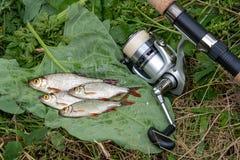Varios pescados comunes del rudd en fondo natural Los pescados de agua dulce y las ca?as de pescar de cogida con la pesca aspan imagen de archivo