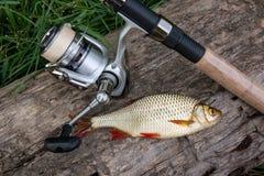 Varios pescados comunes del rudd en fondo natural Los pescados de agua dulce y las ca?as de pescar de cogida con la pesca aspan foto de archivo libre de regalías