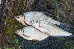 Varios pescados de agua dulce: brema blanca o pescados de plata y zope o la brema azul en red de pesca negra imagen de archivo libre de regalías