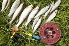 Varios pescados y la pesca de la cucaracha aspan en hierba verde Foto de archivo