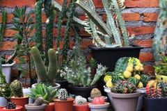 Varios tipos de fondo del ladrillo rojo de los cactus Imagen de archivo