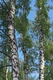 Varios troncos de los árboles de abedul contra el cielo azul Foto de archivo libre de regalías