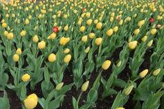 Varios tulipanes rojos entre amarillo unos foto de archivo