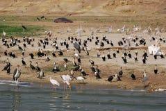 Varios waterbirds africanos Uganda Foto de archivo libre de regalías