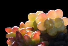 variose виноградин прозрачное Стоковое фото RF
