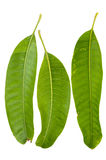 Various angles mango leaves Royalty Free Stock Image