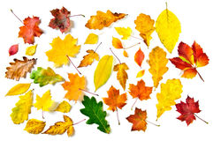 Various autumn leaves. Maple, oak and other on white background Royalty Free Stock Photography