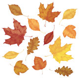 Various autumn leaves Royalty Free Stock Photo