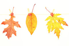 Various autumn leaves Royalty Free Stock Photography