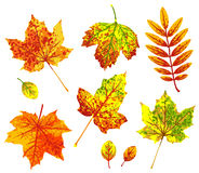 Various autumn leaves isolated on white background. Royalty Free Stock Images