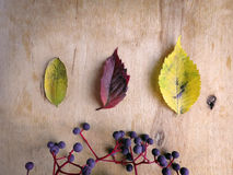 Various autumn leaves and wild grapes Stock Photos
