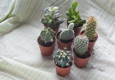 Various baby cactus and small plants on pots. 7 diferent cactus on small pots on soft green fabric, Cactaceae, a family comprising about 127 genera with some Royalty Free Stock Image