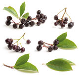 Various Black chokeberry Stock Image
