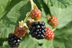 Various blackberries. In different stages of ripening Royalty Free Stock Photos