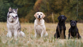 Various breeds of dogs Stock Photo