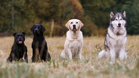 Various breeds of dogs Stock Photography
