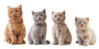 Various british kittens. Isolated on white background Stock Photos