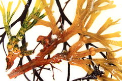 Various brown algae Royalty Free Stock Images
