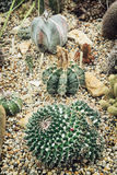 Various cacti Stock Photos
