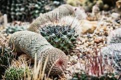 Various cacti mix, closeup natural scene Stock Photos
