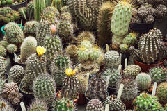 Various cacti mix Royalty Free Stock Photos