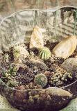 Various cacti planted in the glass bowl Stock Photo