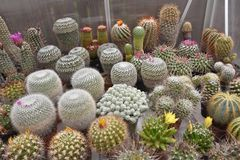 Cactus plants inside greenhouse stock images