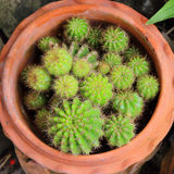 Various cacti in the pot Stock Photo
