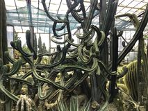 Various cactus in a glass greenhouse for protection in The Conservatory and Botanical Garden stock photography