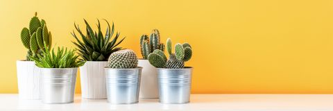 Various cactus plants in different pots. Potted cactus house plants on white shelf against pastel mustard colored wall. Collection of various cactus plants in stock photo