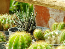 Various cactus plants selective focus Royalty Free Stock Photo