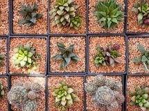 Various cactus plants ,small cactus. In the pot Royalty Free Stock Images