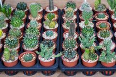 Various cactus plants. / Group of small cactus in the pot Royalty Free Stock Photography