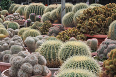 Various Cactus in the pot in Cameron Highland Malaysia Royalty Free Stock Photo