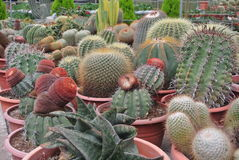 Various Cactus in the pot in Cameron Highland Malaysia Royalty Free Stock Photos