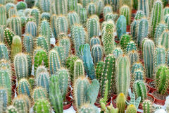 Various cactuses background Royalty Free Stock Photography