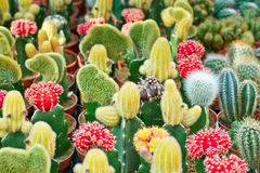 Various cactuses background Stock Images