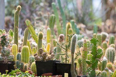 Various cactuses Stock Image
