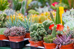 Various cactuses. On a show-window of flower shop Stock Photos