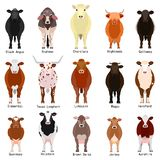 Cattle chart with breeds name. Various cattle breeds chart with breeds name, colors, patterns on white vector illustration
