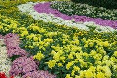 Various chrysanthemum flowers Stock Photography