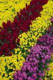 Various chrysanthemum flowers Stock Photo