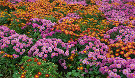 Various chrysanthemum flowers stock images