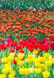 Various color beautiful tulips field Stock Photos
