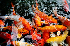 Various color koi fish swimming in pool Stock Photos